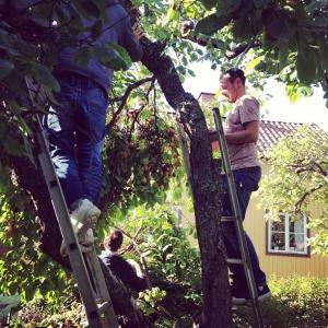 Storplock av trädgårdsplommon i Enskdedalen