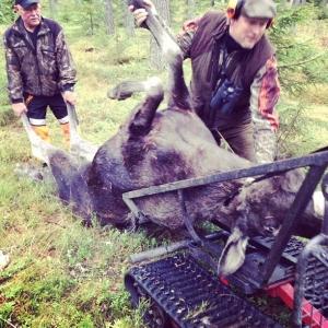 Älgjakt idag med jaktlaget, den här älgkon fälldes strax efter 09.00 i Malingsbo. På menyn om ca 40 dygnsgrader#Luxdagfordag