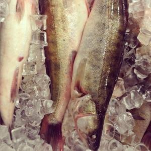 Träffade vår vinterfiskare Daniel igår och hämtade upp den här gösen och gädda som han har fiskat med nät under isen, pinfärsk a fantastiska råvaror. Gösen finns i vår Walk Through idag för 18:-/ hg, säljs hel. Husman idag gäddqueneller med skaldjurssås 85:- take away. Välkomna