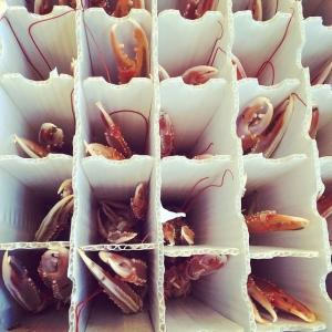 Köket lyckliga över att se de levande havskräftorna levererade från Fjällbacka..