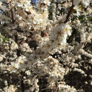 Slånbärsblommor, otroligt vackra! #vår #vackert #livetpålandet #slånbär #blommor #östuna #östunabergsgård #nofilter
