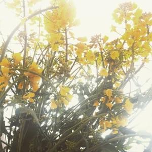 Rapsen står i blom på Primusgatan #luxdagfördag #farmersdinner #säbygård