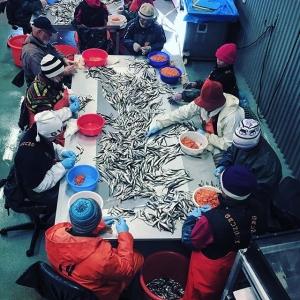 Action pic. Kusinerna Öqvist har full trål två dagar i rad (ca 24 ton), blir en del siklöja att klämma.  #löjrom #farmtotable #luxdagfördag #junkön #junköfiskarna