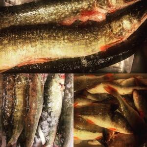 Otroligt härliga fiskar till #farmersdinner imorgon, fiskad av @pervidlund #ängsöfisk #gös #abborre #brax #lake #vardagslux #luxdagfördag